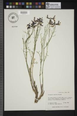 Astragalus saurinus image