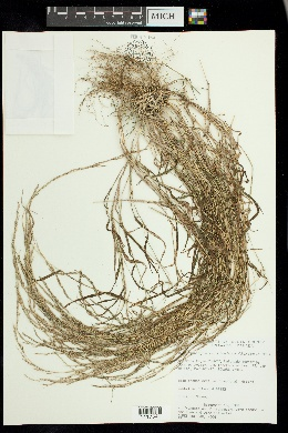 Image of Muhlenbergia × curtisetosa