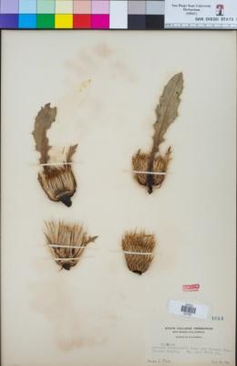 Cirsium andersonii image
