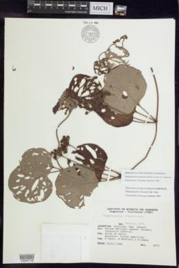 Stigmaphyllon bonariense image