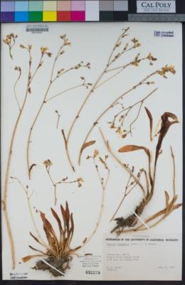 Lewisia congdonii image
