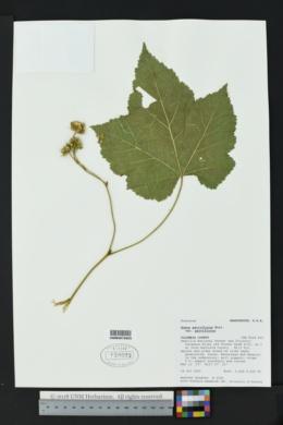 Rubus parviflorus var. parviflorus image