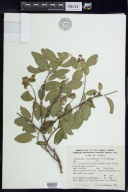 Image of Callaeum clavipetalum