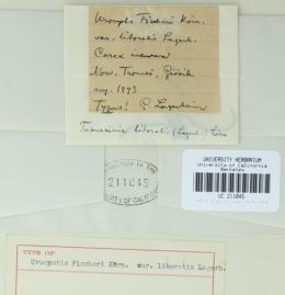 Urocystis fischeri image