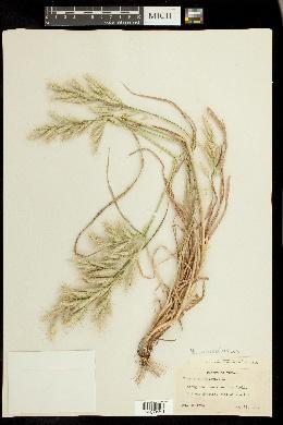 Bromus lanceolatus image