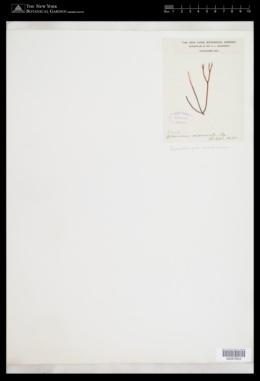 Trematocarpus concinnus image