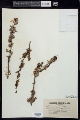 Image of Phyllanthus orbicularis