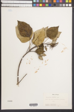 Image of Homalanthus populifolius