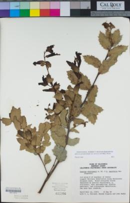 Quercus parvula var. shrevei image