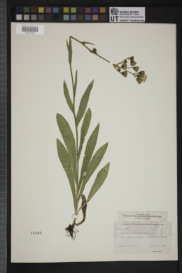 Hieracium scouleri image