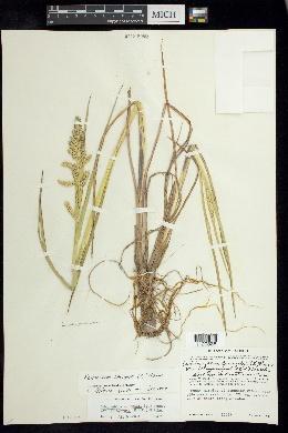 Echinochloa crus-galli var. zelayensis image