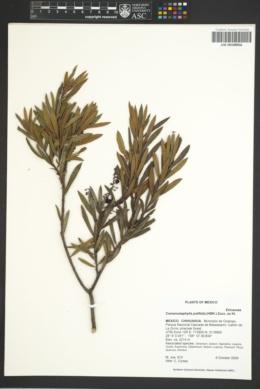 Image of Comarostaphylis polifolia