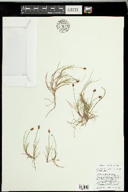Carex gynocrates image