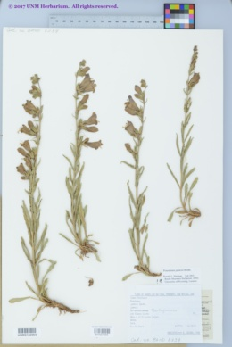 Penstemon jamesii image