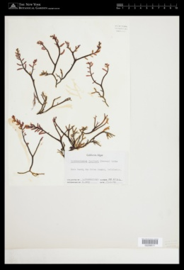 Neogastroclonium subarticulatum image