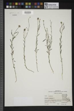 Polygala sanguinea image