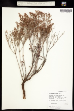 Image of Eriogonum effusum