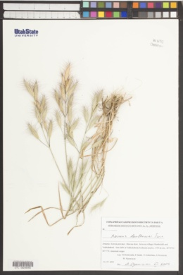 Bromus danthoniae image