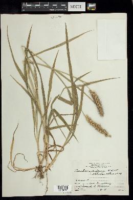 Image of Cenchrus pilosus