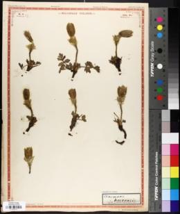 Anemone hortensis image