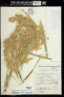 Image of Cenchrus bambusiformis