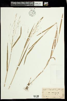 Kellochloa verrucosa image