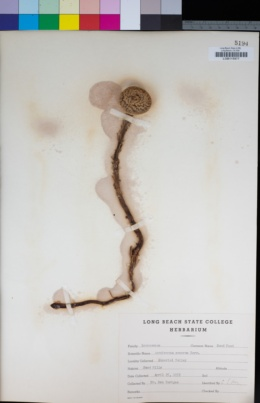 Pholisma sonorae image