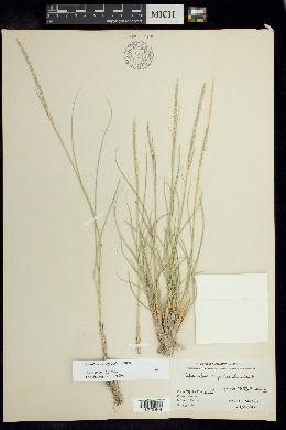 Image of Sporobolus spiciformis
