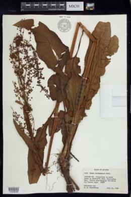 Rumex orthoneurus image