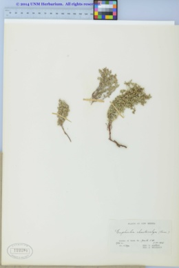 Chamaesyce chaetocalyx var. chaetocalyx image