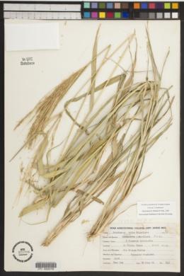 Chloris pluriflora image