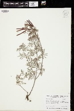 Image of Desmanthus velutinus