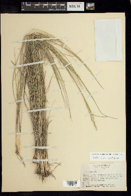 Image of Piptochaetium angustifolium