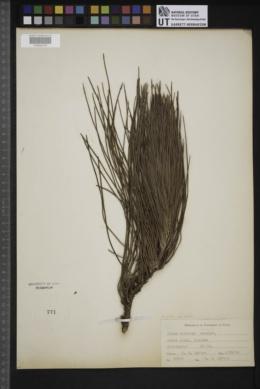 Pinus elliottii var. elliottii image