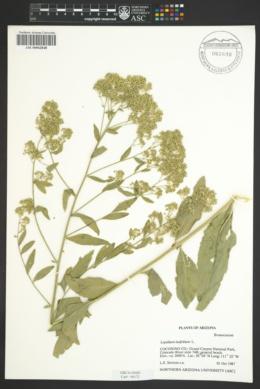 Lepidium latifolium image