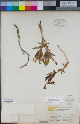 Diplacus aridus image