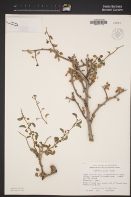 Euphorbia misera image