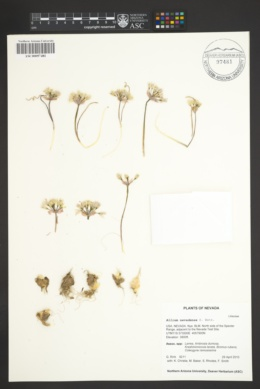 Allium nevadense image