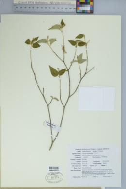 Image of Croton suaveolens