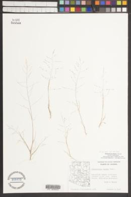 Muhlenbergia eludens image