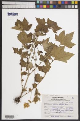 Image of Anemone vitifolia