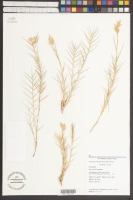 Image of Distichlis distichophylla