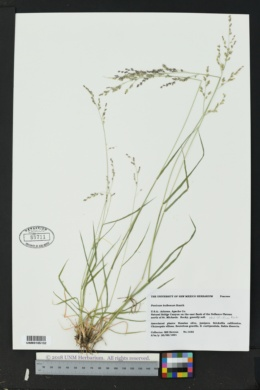 Zuloagaea bulbosa image