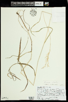 Bromus ciliatus image
