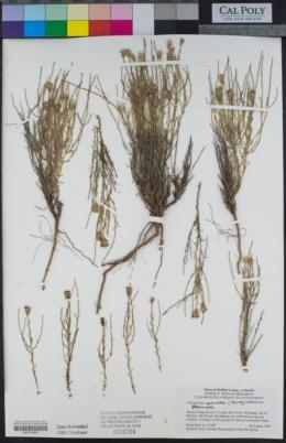 Chaetopappa ericoides image