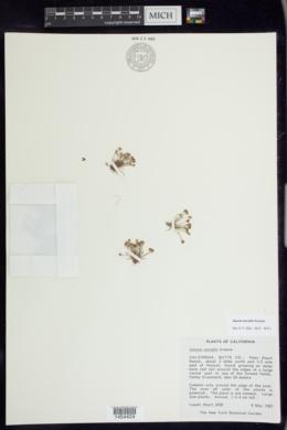 Juncus uncialis image