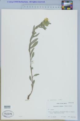 Image of Heterotheca nitidula