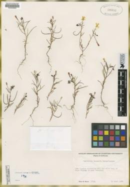 Image of Camissonia lacustris