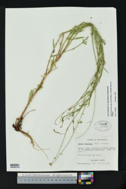 Gaura hexandra subsp. gracilis image