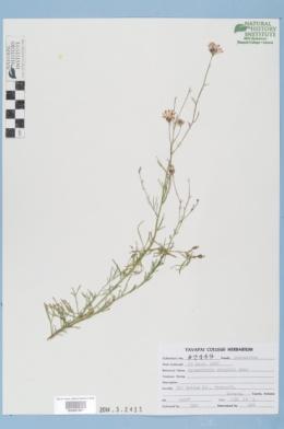 Hymenothrix wrightii image